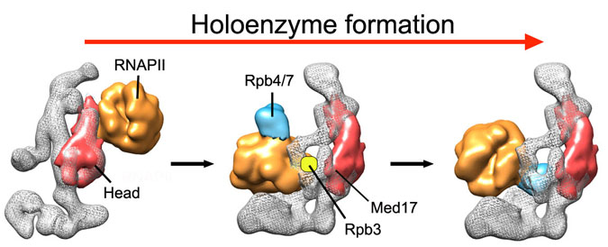 Holoenzyme Formation
