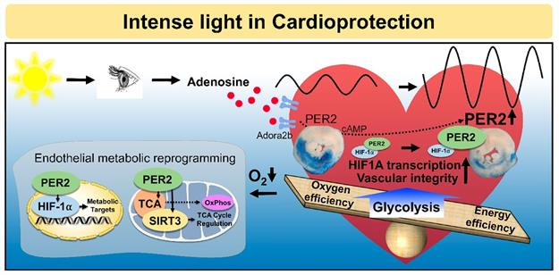 intense-light-in-cardioprotection