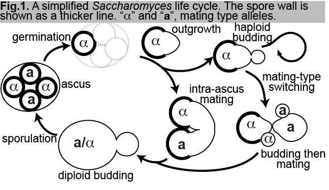 McMurray LifeCycle