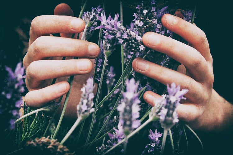 Picture of hands holding lavendar